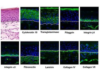 Visualization of exemplary differentiation proteins by immunofluorescent labeling.